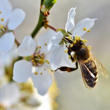 Méh- és darázscsípés veszélyei